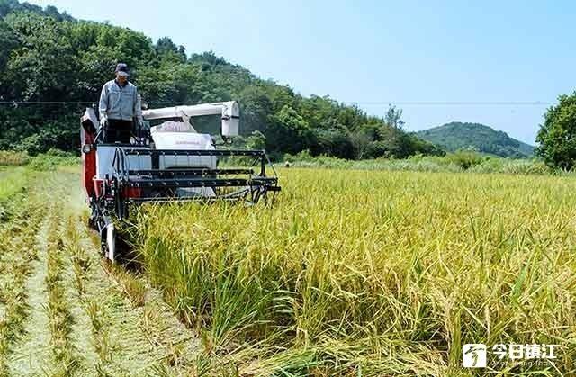 金秋未到稻谷飘香 戴庄有机双季稻早稻收割