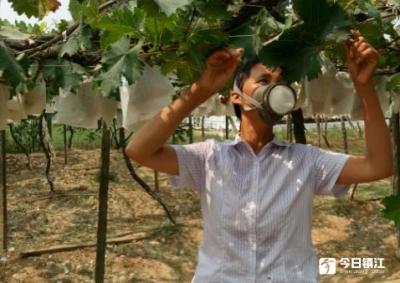 葡萄熟了,却要带着防毒面具采摘,原是旁边养猪场恶臭熏人