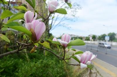 白玉兰、紫藤反季节开花