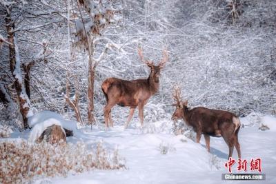 雪景迷人 野生鹿雪中游玩