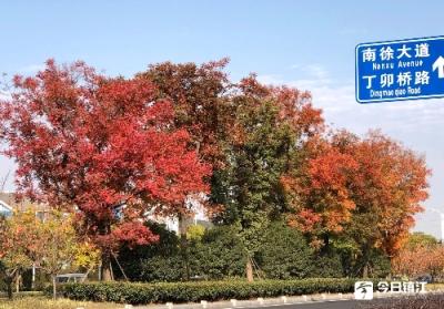 """金秋的镇江道路打翻了""""调色盘"""",扩大色叶树种植为古城""""绿中添彩"""""""