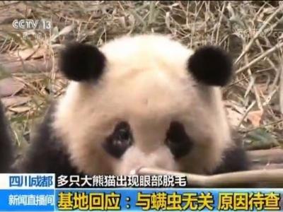 多只大熊猫感染螨虫致眼部脱毛?成都大熊猫基地回应