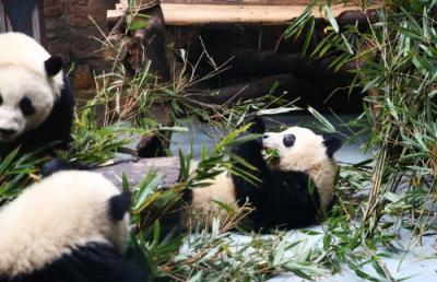 """成都大熊猫繁育研究基地回应""""虐待国宝"""":我们比爱自己的孩子更爱它们"""