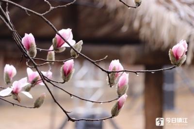 春雨润物潜入夜 数朵玉兰压群芳