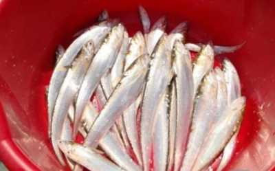 句容北山水库开发刀鱼人工养殖  410条种鱼己投入网箱