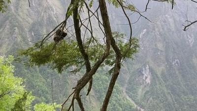 现场视频 | 好消息!四川发现新的大熊猫栖息地