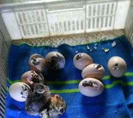 宝堰镇养鹅户为老人孵化出六只小孔雀 此前老人用500枚孔雀蛋只孵化出一只