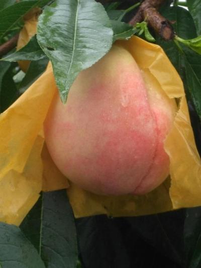 丹徒一农户用鹅粪给桃树施肥 结出的水蜜桃甜又脆