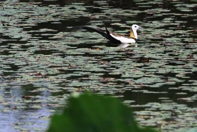 """赤山湖国家湿地公园: 好生态引来""""水中凤凰""""水雉驾临"""
