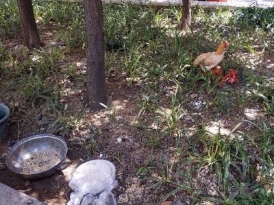 运粮河花园鸡被散养、泔浆桶臭 影响环境卫生
