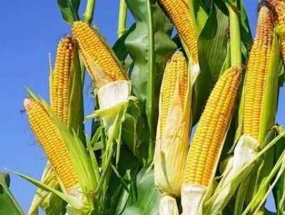 偷科研玉米是盗窃罪?能否意识到玉米特殊价值是定罪关键