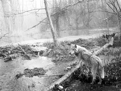 30年来一只狼首次离开切尔诺贝利 科学家紧密跟踪