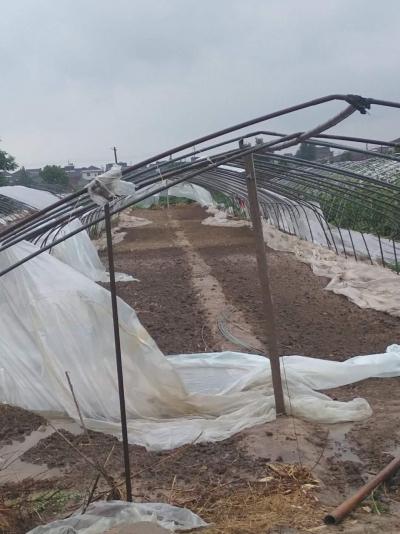 """(等补充)台风""""温比亚""""过境 丹徒农村蔬菜大棚、高杆作物很受伤 有的农作物损失惨重!"""