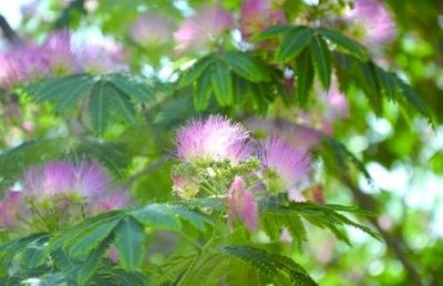 送你一朵红绒花:合欢花