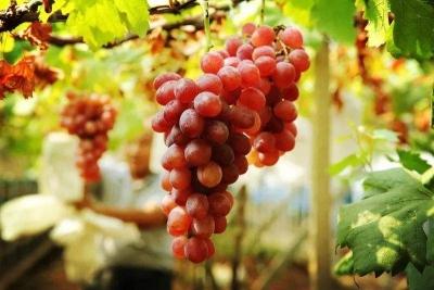 丁庄村的葡萄熟了