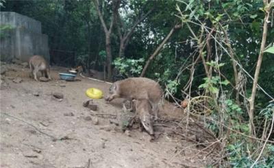 镇江韦岗战斗纪念馆周边生态环境修复  野猪成群下山觅食
