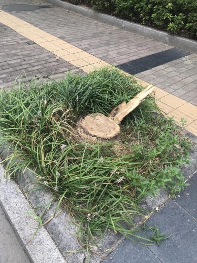 市民反映纬七路行道树被锯 住建局:有虫害等安全隐患 将重新种植