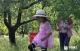 甜枣丰收挂满枝 重温童年打枣时