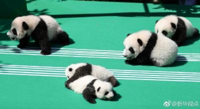 不许随意投喂、拍摄国宝!四川:禁止商业性近距离接触圈养大熊猫
