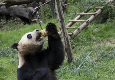大熊猫国家公园管理局正式成立 严控园内人为活动增量