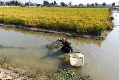 镇江丹阳一家农场的水稻田里爬满龙虾、螃蟹