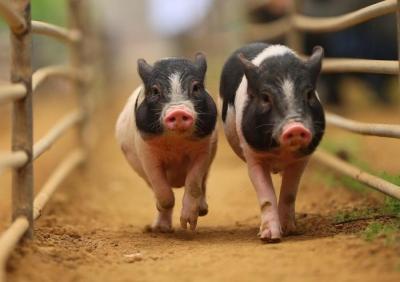我国发生的前21起非洲猪瘟疫情中62%与饲喂餐厨剩物有关