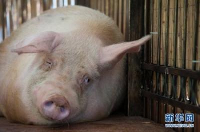 一场没有硝烟的战斗——权威专家回应非洲猪瘟疫情防控热点