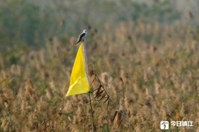 国家二级保护动物黑翅鸢现身赤山湖国家湿地公园