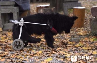 """感动!深山古寺有一""""狗坚强""""后腿靠轮子行走"""