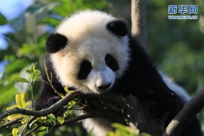 国家林业和草原局发布最新大熊猫数据,关心国宝的你不了解一下?