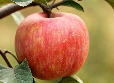 来自国家贫困县  采自贫困户枝头——富平万斤优质苹果期待您的援手