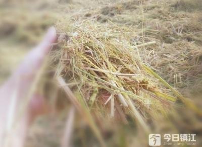 视频 | 镇江新区5.85万亩水稻大面积收割 4.8万亩小麦播种同步推进