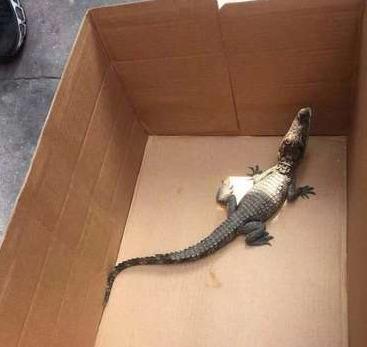 市民报警发现鳄鱼 警方全副武装发现鳄鱼仅巴掌大
