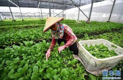 多吃绿叶蔬菜可能有助预防脂肪肝