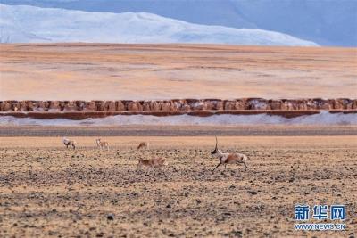 藏羚羊的家园