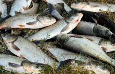 """想不到这种鱼是治水""""小能手""""   句容水库放流了7万余斤"""
