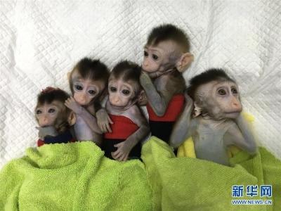 我国科学家创建世界首例生物节律紊乱体细胞克隆猴模型