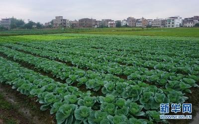 江苏省打造千亿级绿色蔬菜产业 将建设200个全程质量控制示范园区