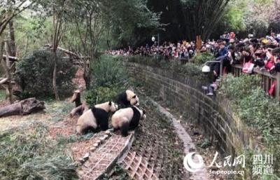 春节惊险一幕:8岁女童攀坐护栏看熊猫 不慎跌入围栏内