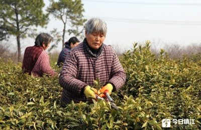 受阴雨低温影响 今年镇江春茶开采或略有推迟