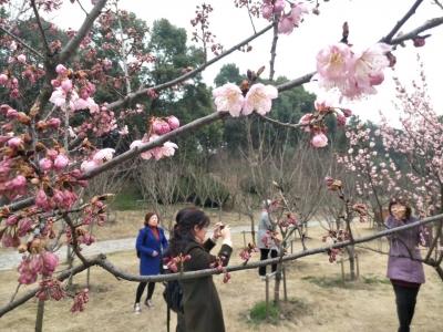早樱报春,宝塔山公园樱花季开启