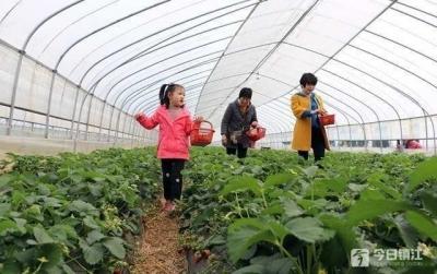 句容白兔草莓文化节迎客:以莓为媒,游客边采边吃饱口福