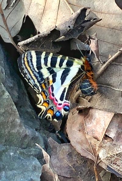 中华虎凤蝶现身宝华山 这是我国独有野生蝶类 它和宝华玉兰一起组成一对江苏生物名片