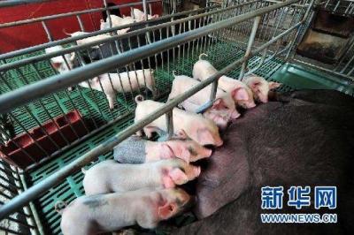 农业农村部:21个省份非洲猪瘟疫区解除封锁