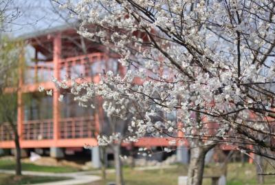 """""""消息树""""绽放报春 句容天王镇3000亩樱花将迎来赏花季"""