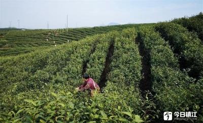 """地产明前茶""""早把春来报"""" 增产约两成 开采早一周"""