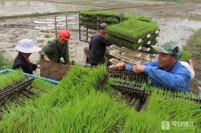 为了满足舌尖上的诱惑 镇江这个地方插秧探索双季稻