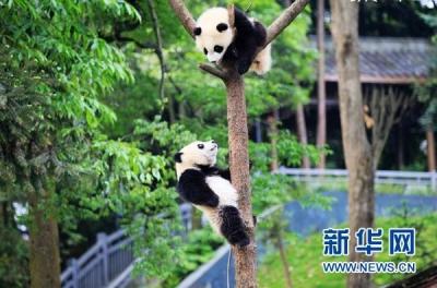 """中国大熊猫保护研究中心大熊猫""""园园""""启程前往奥地利"""