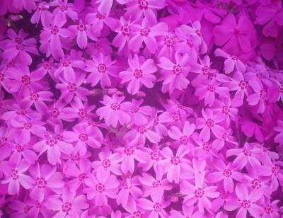 芝樱, 春秋的红粉知音