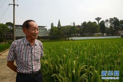 """一颗稻谷里的爱国情怀——记""""杂交水稻之父""""袁隆平"""